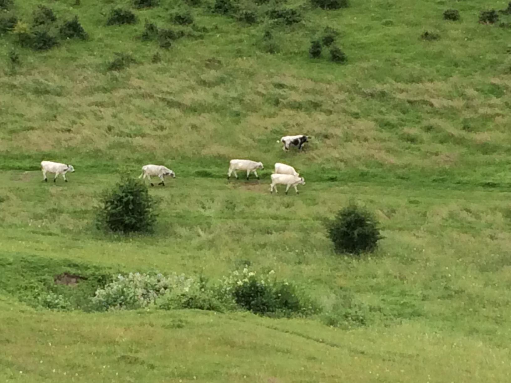 Cattle roaming on Whiteshute Ridge in Winchester