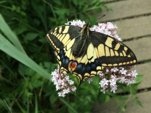 A swallowtail butterfly with its wings spread, sitting on a plant