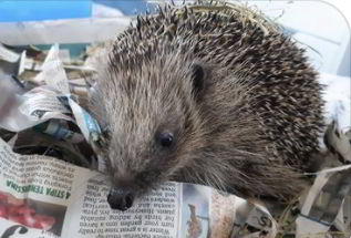 A hedgehog in a nest of newspaper
